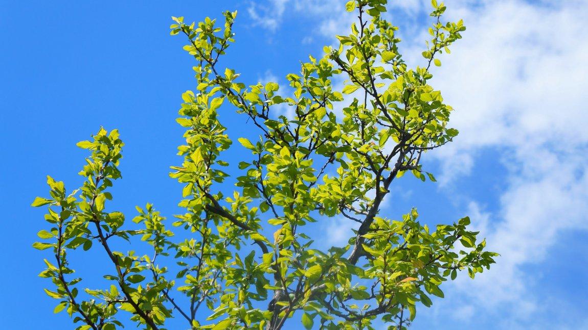 Korona drzewa na tle błękitnego nieba